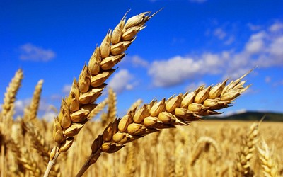 Weizen / Gerste / Roggen - nährstoffreichesGetreide