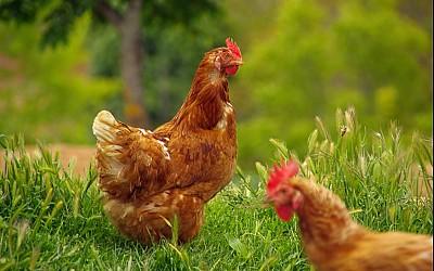 Mischfutter für Geflügel - spezielle Mischungen abgestimmt auf den Bedarf Ihrer Geflügelart